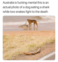 "Dogs, Fucking, and Tumblr: Australia is fucking mental this is an  actual photo of a dog eating a shark  while two snakes fight to the death <p><a href=""http://memehumor.net/post/173485146520/aussies-dogs-aint-vegans-bois"" class=""tumblr_blog"">memehumor</a>:</p>  <blockquote><p>Aussie's dogs ain't vegans bois!</p></blockquote>"