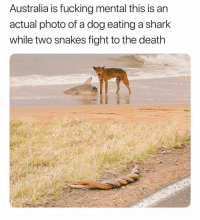 Bruh, Fucking, and Shark: Australia is fucking mental this is an  actual photo of a dog eating a shark  while two snakes fight to the death bruh