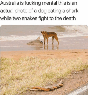 Fucking, Sorry, and Tumblr: Australia is fucking mental this is an  actual photo of a dog eating a shark  while two snakes fight to the death thedurvin:  gelana78:  eruditionanimaladoration:   itwashotwestayedinthewater:  littledeludeddupes: those snakes are not fighting they are fucking. im very sorry while two snakes FUCK to the death   That dog looking at the snakes like why you gotta do that while I'm eating   Metal as snakes fucking.    Is it a dog or a dingo?