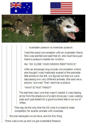 We're number one?: Australian possum vs American possum  I had this exact conversation with an Australian friend.  She was startled and said that oh, she must have just  heard a possum outside her window.  Me: OH CLOSE YOUR WINDOW RIGHT NOW D:  After an amusingly long circular conversation where  she thought I was irrationally scared of the adorable  little animal on the left, we figured out that we were  discussing two very different animals. She sent me a  picture, I awwed. Then Isent her a picture.  WHAT IS THAT THING?  The last time I saw one that wasn't roadkill, it was hissing  at me from the shadows of a dark driveway I was walking  past and Ijust bolted for a good hundred feet or so out of  reflex.  This may be the only time the US wins in a head to head  competition for scarier animals with Australia.  the one marsupial we do have, and it's this thing  There was a mix up and we got Australia's Possum. We're number one?