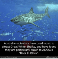 """Facts, Memes, and Music: Australian scientists have used music to  attract Great White Sharks, and have found  they are particularly drawn to AC/DC's  """"Back In Black""""  weird-facts, org  @facts weird schoolofmetal"""