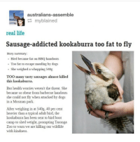 Poor guy: australians-assemble  myblained  real life  Sausage-addicted kookaburra too fat to fly  Story summary:  Bird became fat on BBQ handouts  Too fatto escape mauling by dogs  She weighed a whopping 540g  TOO many tasty sausages almost killed  this kookaburra.  But health womies weren't the threat. She  became so obese from barbecue handouts  she could not fly when attacked by dogs  in a Mosman park.  After weighing in at 540g, 40 per cent  heavier than a typical adult bird, the  kookaburra has been sent to bird boot  camp to shed weight, prompting Taronga  Zoo to warn we are killing our wildlife  with kindness. Poor guy