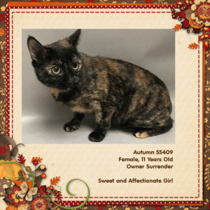 """Dogs, Facebook, and Family: Autumn 55409  Female, 11 Years Old  Owner Surrender  Sweet and Affectionate Girl Very loving senior tortie """"Autumn"""" at NYC ACC is a very loving girl and will be a blessing for an owner! (*Unknown how she would be with kids, cat & dogs)! Would be a great cat for a senior! Pledge/share/save! URGENT!  https://www.facebook.com/nycurgentcats/photos/a.290714664279861/2741441062540530/?type=3&theater   ACC NYC - Brooklyn Center  Autumn was surrendered by a family member of her owner because, due to personal reasons, her owner was unfortunately no longer able to provide the care she needs. This lovely tortie girl is affectionate and will surely brighten any home!  Autumn 55409 https://www.nycacc.org/adopt/autumn-55409  11 Years Old, Tortoiseshell DSH, Stray 02/21/19 26-Feb-2019  Spay-Neuter Waiver Documentation  Vet Notes: 1:11 PM  [Spay/Neuter Waiver - Age]  It is the policy of ACC not to perform surgery on any animal over the age of 8-10 years due to the higher risks incurred in a shelter setting. The veterinarian is hereby issuing a permanent spay/neuter waiver, from the spay/neuter requirements of the City of NY due to the estimated age of this animal. ACC does recommend you consult with your veterinarian to determine if surgical sterilization is appropriate."""