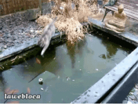 Cats, God, and Oh My God: avebloca missvoltairine:  teenagegaywad:  What the fuck are cats  Oh my god that cat is so excited for the surface of the water to be solid because it thinks it'll be able to finally catch a fish oh my god oh my god look at it slip around ahhhhhhhhh