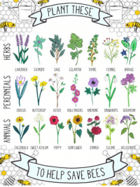 <p>What To Plant To Save The Bees.</p>: AVENDER CATMINT SAGE CILANTRO THYME FENNEL BORAGE  CROCUS BUTTERCUP STER HOLLYHOCKS ANEMONE SNOWDROPS GERANIUM  GALENDULA SWEET ASYLUM POPPYSUNFLOWER INNIA CLEOME HELIOTRO  HAVE BEES <p>What To Plant To Save The Bees.</p>