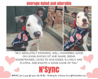 TO BE KILLED 1/27/2018  <3 AVERAGE RATED AND ADORABLE!!    A volunteer writes: I admit – we grown women did our fair share of squealing and swooning over N Sync. How could we not? He's absolutely stunning, well mannered, good on leash, knows sit and shake, seems housetrained, loves to give kisses, is lively and playful and enjoys a good game of tug. In the park he posed perfectly for photos like he's had a camera pointed at him all his young life (he's so handsome he probably has), and off leash he loved running free, chasing balls and toys and bringing the tug toy over to me for a game. He's adorably puppy bouncy and clumsy from time to time and I actually laughed out loud. He's so cute! Every time I let him win (shhhh, our secret), he'd bring it back for another game. He loves playing with both boys and girls in playgroup, loves being with people, and just loves. Period. So, in summation, from where I sit he's pretty perfect all around so if you're still reading this and not making your way to meet him you'll miss out. Do it today!  N'Sync  #18540 Neutered male gray dog @ Manhattan Animal Care Center About 1 years old Weight 49.375 lbs  N'Sync is at risk due to being diagnosed with Canine Infectious Respiratory Disease Complex which is contagious to other dogs. N'Sync will likely require in home care with a course of antibiotics. There are no behavior concerns for N'Sync at this time.  Medical notes : Weight: 49.375 lbs 18/01/2018 - Intact male Scan negative for a microchip Inserted during the initial # 981020021147072 About 1 year OU=clear Nose= No discharge AU=clean Teeth are white Coat is clean Dewormed with Pyrantel Flea Treatment= Para Defense As of now no signs of CIRDC As of now no V/S/C/D 18/01/2018 - [DVM Intake] DVM Intake Exam Estimated age:1y Microchip noted on Intake?n Microchip Number (If Applicable): History :stray Subjective: Observed Behavior -playful, jumpy Evidence of Cruelty seen -n Evidence of Trauma seen -n Objective T = P =60 R =wnl BCS 5/9 