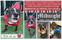 Bones, Cats, and Christmas: AVERAGE RATED for Good Behavior & Tolerance Up to  date on vaccines Compact Cutie in need of a good home  Friendly, affectionate and indepedent but sociable  @MANHATTAN ACC WAITING FOR LOVE  16891 5 pears old, 43 Ibs  With all my TO BE KILLED - 7/17/2018  <3 A volunteer writes: There is something about Midnight that makes me like him...He is a little guy, middle aged, assertive like a new kid on the block, determined to leave his scents wherever he dwells, savvy and yet, there is in his look and attitude with me, some neediness and sweetness that makes me find him quite endearing. It was much too dark to video him in action but Midnight comes when called and sits perfectly well on command and for treats. If a box of cookies lays around, like in our waiting room under the Christmas tree, Midnight will have no shame to sample on his own a few milk bones. He shows some interest in the tennis ball but does not pursue. He played a little with me with a toy. Midnight is a small guy, shiny dark brindle with a greying muzzle. He pulls a little on the leash and sometimes barks at other pooches. He met only females in playgroups and was polite and even playful with them as long as they were respectful. Midnight is a cute gent, a bit independent but sociable, friendly and even affectionate. I bet that he is quite playful too in the right circumstances. A home sweet home is what he needs and dreams of.... Come and meet our Midnight at the Manhattan Care Center. I know he will bright up your life for many years to come.  Midnight ID# 16891 Manhattan ACC  5.5 yrs old, 49.2 lbs BROWN BRINDLE / WHITE NEUtERED MALE Medium Mixed Breed Cross  RETURN - No Reason known yet Intake Date: 06-19-2018  My health has been checked. My vaccinations are up to date. My worming is up to date. I have been microchipped.  RETURNED 06/19/18 :(  (was saved 12/30/17 by Bella's NY Bullies)  >> It seems the rescue is closed. The ACC is (still) trying to get in touch with Bella 