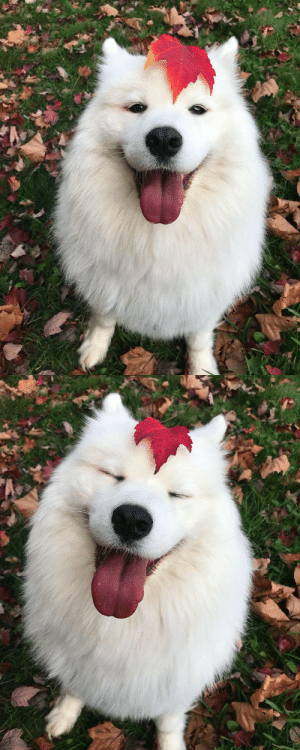 Facebook, Tumblr, and Blog: awake-but-dreaming:  sixpenceee: Prettiest dog with the prettiest leaf. Credit: Mayapolarbear such a happy floof