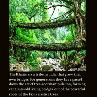 ❤❤ awakespiritual: awake spiritua  The Khasis are a tribe in India that grow their  own bridges. For generations they have passed  down the art of tree-root manipulation, forming  centuries-old 'living bridges' out of the powerful  roots of the Ficus elastica trees. ❤❤ awakespiritual