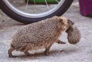 Tumblr, Blog, and Hedgehog: awesomacious:  A hedgehog carrying it's baby