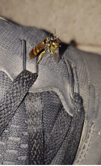 Tumblr, Blog, and Http: awesomacious:  Wasp caught a fly, right on my shoe