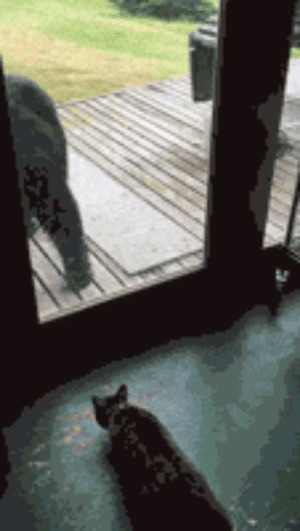 Tumblr, Bear, and Blog: awesomesthesia:  Cat Scaring A Bear