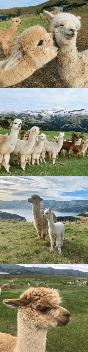 aww-so-pretty:Alpaca in Akaroa, New Zealand: aww-so-pretty:Alpaca in Akaroa, New Zealand