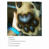 A LORGE CATTO - Max tag someone: awwdorables:  malformalady  Lion paw compared to a human hancd  Photo credit: chiaratoshl  VERY BIG TOE BEANS A LORGE CATTO - Max tag someone