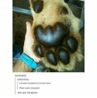 Swipe for more ➡ (@hilarious.ted): awwdorables:  malformalady:  Lion paw compared to a human hand  Photo credit: chiaratoshi  VERY BIG TOE BEANS Swipe for more ➡ (@hilarious.ted)