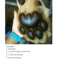 LOOOK HOW BIG THEY AREEE: awwdorables:  malformalady:  Lion paw compared to a human hand  Photo credit: chiaratoshi  VERY BIG TOE BEANS LOOOK HOW BIG THEY AREEE