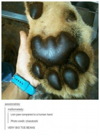 Toe Beans: awwdorables:  malformalady:  Lion paw compared to a human hand  Photo credit: chiaratoshi  VERY BIG TOE BEANS