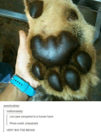 Toe Beans: awwdorables  malformalady:  Lion paw compared to a human hand  Photo credit: chiaratoshi  VERY BIG TOE BEANS