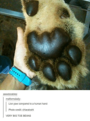 Imagine that slapping you in the face.omg-humor.tumblr.com: awwdorables:  malformalady:  Lion paw compared to a human hand  Photo credit: chiaratoshi  VERY BIG TOE BEANS Imagine that slapping you in the face.omg-humor.tumblr.com