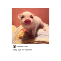 Tumblr, Nap, and Cuteness: aWWWW-cute  Baby pigs are adorable @ my teachers: please..... no homework I need 2 nap