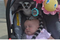 """Cute, Target, and Tumblr: awwww-cute:  My friend had her daughters at a zoo when she heard, """"Ma'am, there's a lemur on your baby"""