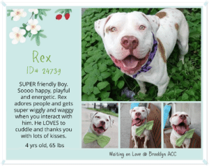 "Animals, Apparently, and Beautiful: ax  ех  D4 24739  SUPER friendly Boy.  Soooo happy, playful  and energetic. Rex  adores people and getsp.  super wiggly and waggy  when you interact with  him. He LOVES to  cuddle and thanks you  with lots of kisses.  4 yrs old, 65 lbs  Waiting on Love @ Brooklyn ACC TO BE KILLED 6/1/19  Six times Rex has been in and out of the shelter. His owner comes back for him and then a bit later he is back! And through it all, Rex has remained a staff favorite - FRIENDLY, AFFECTIONATE and SO HAPPY! <3 A volunteer writes: There's friendly and then there's FRIENDLY! Rex squarely belongs in the latter category. He just adores people and gets super-wiggly and waggly when you interact with him. He thanks you with lots of face kisses, which are pretty hard to resist. He's sooooo happy and playful and has lots of energy. Rex finds everything around him to be of interest - the birds flying above, the dog being walked across the street, the stray plastic bag floating in the wind - it all fascinates him! Rex occasionally gets too focused on something, but it's very easy to distract him - just click your tongue or call to him and he'll immediately look right up at you. Better yet, give him a treat and he'll completely forget what had so absorbed him just a minute ago. Rex can also get a bit overexcited when you interact with him (he's just so playful!), but here too it's very easy to refocus his energy. When I gave him a treat, he immediately settled down and we continued our walk. If you'd like to meet this super-friendly, happy, high-energy boy, come on down to the Brooklyn ACC shelter where he's awaiting his forever home.  Short volunteers note June 2018 Rex has been officially coined as ""Sexy Rexy."" He is truly beautiful. All the staff love him. He saw one of his favorites in the hall and literally did a hop skip in the air. When I had Rex tethered outside to get pics, I was taking pics of another dog and he got so jealous. He really is a ladies man, loves to cuddle, but he's sort of wild when he does it. He was dancing for a treat today.  <3  A volunteer wrrote in 2014:  Rex is a big puppy who deserves well his name. Indeed, he is royal looking and eye catching. Although his coat has the most beautiful markings, his pale greenish yellowish eyes are what makes Rex so attractive. Rex is leashed easily. He salutes on the way every single dog in his ward.He does not respond to a pooch barking at him. In the street, he eliminates right away as we exit the building, pulls a little , chases the pigeons and aims toward other dogs, curious to see them. His tail his high like it is most of the time. Free in a pen, Rex is one boisterous boy. Let's not forget that despite his big size, Rex is ONLY…8 month old…He loves to play ball, jumps in the air to catch it or runs after it. He retrieves at my feet. Rex loves treats and will sit on command for them. He does not always listen and orders have to be repeated. Sounds familiar? Like a kid… Rex can be petted all over. He can be a little mouthy at times and jumpy. He tried once to go for the leash but a treat made him change his mind. Rex is a youngster we have at the Manhattan Care Center. He is a big boy, energetic and has a personality.. Like any puppy, he will need training to be on the same page as his new owner or family. His majesty Rex is all worth the investment that will be put into him. He could become a rockstar of a dog…Come and meet Rex…son. and make him yours…  REX´ VIDEOS  May 2019 Party Animal https://youtu.be/ZPyal8vaVbM Big Lug https://youtu.be/H0snPP4Gamc September 2018 https://youtu.be/NJ1Z2CuidSM June 2018 https://youtu.be/G1WXubiykY4 https://youtu.be/VZ6ZvOISzcQ August 2014 https://youtu.be/3W03uOOkB5U https://youtu.be/G1WXubiykY4 June 2014 https://youtu.be/vv6EfCE0Uqs  REX, ID# 24739, 5 yrs and 1 month old, 56.8 lbs, Brooklxn Animal Care Center, Large Mixed Breed Crtoss, Brown / White Neutered Male,  Returned as a Stray  (was Returned to Owner 09/26/18) Shelter Assessment Rating: Medical Behavior Rating: Yellow   ------------------------------------------------------  NOTES 6th STAY / Intake: 09-15-18  REX ID# 24739 Brooklyn ACC aka KINGSTON aka WILLY (ALT ID – A0995114 and A1011690) -  4 yrs old, 65 lbs Brown / White Neutered Male Returned as a Stray  (was Returned To Owner in June)  Intake Date: 09-15-2018  UPDATED NOTES FOR REX!! 9/24/2018 During walk with a caretaker, Rex was removed from the kennel without issue and without any attempts to cage fight with neighboring dogs. When outside on his walk, two different dogs where walking by and while Rex did appear to focus on them there was no further escalation and he was easily refocused with treats.  ****************************************************** FIFTH STAY / Intake 06/16/18  *** RETURNED AS A STRAY 06/16/18 ***  Intake Date 06/16/18 Intake Type: Stray Medical Behavior: Green Age: 4 years Sex: Neutered male Weight: 65 lbs  MEDICAL EXAM NOTES  DVM Intake Exam: Estimated age: 4 year Microchip noted on Intake? positive 985112001332985 (Chameleon-last here 9/2017-APH) History : stray Subjective: BARH Observed Behavior – very sweet. Easily handleable. Did well for all medical handling and procedures. Objective: P = wnl R = eupneic BCS 4/9 EENT: Eyes clear, ears clean, no nasal discharge noted Oral Exam: clean adult dentition, no oral lesions noted PLN: No enlargements noted H/L: NSR, NMA, CRT < 2, Lungs clear, eupneic ABD: Non painful, no masses palpated U/G: MN MSI: Ambulatory x 4, skin free of parasites, no masses noted, healthy hair coat, erythematous pinna, face, and ventrum CNS: mentation appropriate – no signs of neurologic abnormalities. Assessment: Apparently healthy Plan: Continue to monitor while at BACC Prognosis: Excellent SURGERY: neutered  ****************************************************** NOTES 4th STAY / Intake 08/23/2014  **RETURNED AS STRAY 8/23/14**  MALE, WHITE / BROWN, PIT BULL MIX, 1 yr STRAY – ONHOLDHERE, HOLD FOR ID Reason STRAY Intake condition EXAM REQ Intake Date 08/23/2014, From NY 11368, DueOut Date 08/30/2014,  Medical Behavior Evaluation GREEN Medical Summary Scanned positive 985112001332985 Neutered male, approx 1 yr old Applied activyl bar friendly and allowed handling; very high energy Weight 66.4  (ADOPTED – 09/19/14)  ****************************************************** NOTES 3rd STAY / Intake 06/11/2014  *** RETURNED AS A STRAY AGAIN ON 6/11/14 ***  NEUTERED MALE, WHITE / BROWN, PIT BULL MIX, 10 mos STRAY – ONHOLDHERE, HOLD FOR ID Reason STRAY Intake condition NONE Intake Date 06/11/2014, From NY 11368, DueOut Date 06/14/2014,  Medical Behavior Evaluation GREEN Medical Summary SCAN POSITIVE# 985112001332985 BRIGHT, ALERT, RESPONSIVE, HYDRATED PHYSICAL EXAM- Heper Young dog Dirty ears cleaned Neutered male NOSF Weight 67.8  ****************************************************** NOTES 2nd STAY / Intake 05/14/2014  *** RETURNED AS A STRAY 5/14/14 ***  MALE, WHITE / BROWN, PIT BULL MIX, 9 mos STRAY – ONHOLDHERE, HOLD FOR ID Reason STRAY Intake condition NONE Intake Date 05/14/2014, From NY 11373, DueOut Date 05/17/2014,  Medical Behavior Evaluation GREEN Medical Summary SCAN POSITIVE 985112001332985 BRIGHT, ALERT, RESPONSIVE, HYDRATED PHYSICAL EXAM- INTACT MALE. EYES, EARS, BODY COAT- WNL AMB X 4; NO APPARENT LAMENESS. ALLOWS HANDLING. NOSF Weight 59.8  SAFER: EXPERIENCED HOME NO CHILDREN  ****************************************************** NOTES FIRST STAY / Intake 03/28/2014  MALE, WHITE / BROWN, PIT BULL MIX, 8 months STRAY – STRAY WAIT, NO HOLD Reason STRAY Intake condition NONE Intake Date 03/28/2014, From NY 11373, DueOut Date 03/31/2014,  Medical Behavior Evaluation GREEN Medical Summary Scanned negative QARH Mild dental tartar Allows handling Male intact Petarmor applied topically Nosf Weight 64.6  ****************************************************** Date of intake:: 9/15/2018  Spay/Neuter status:: Yes  Means of surrender (length of time in previous home):: Stray, no known history (2nd stay in the care center)  Other Notes:: 6/6/2018, 1st stay in the care center, Stray with no known history  Date of assessment:: 9/17/2018  Look:: 3. Dog jumps on Assessor, consistently rubs his shoulder on the Assessor, and will not allow Assessor to conduct the assessment.  Sensitivity:: 1. Dog stands still and accepts the touch, eyes are averted, and tail is in neutral position with a relaxed body posture. Dog's mouth is likely closed for at least a portion of the assessment item.  Tag:: 3. Dog repeatedly turns quickly away when touched, or repeatedly spins toward the touch, and repeatedly tries to exit. Dog may be crouching, tail is tucked, mouth closed, body stiff.  Paw squeeze 1:: 2. Dog quickly pulls back.  Paw squeeze 2:: 2. Dog quickly pull back.  Toy:: 2. Dog takes toy away, keeps a firm hold. His/her body is between you and the toy, and is loose and wiggly. No growling or stiffness.  Summary:: Rex was highly anxious and distracted during his assessment, seeking exiting throughout. He tolerated most handling without issue though displayed a low threshold for arousal when engaging in play.  Summary (1):: Rex was brought in as a stray so his behavior around other dogs is unknown.  6/17: When off leash at the Care Center, Rex greets the novel female with a high stance, chattering a little. He becomes sexually motivated, attempting to mount her a few times but responds well to being re-directed. When she solicits his attention by barking in his face, Rex offers a slightly over the top correction- hard bark and lunge towards her. The two then move away from each other.  Date of intake:: 6/16/2018  Summary:: Loose, wiggly, allowed all handling  Date of initial:: 6/18/2018  Summary:: Active, friendly, allowed all handling  ENERGY LEVEL:: In the care center, Rex has been active and enthusiastic. He may have a low threshold for arousal and needs guidance to learn how to appropriately channel that energy when he becomes overstimulated. He will need daily mental and physical stimulation and exercise, and a force-free, positive reinforcement-based training class may help him to learn impulse control and to train desirable behaviors that can be rewarded.  IN SHELTER OBSERVATIONS:: 9/15/2018 Rex broke out of his collar in the lobby and ran towards another dog; his body was stiff and hackles raised. Staff was able to secure Rex on leash and move him away  BEHAVIOR DETERMINATION:: NEW HOPE ONLY  Behavior Asilomar: TM - Treatable-Manageable  Recommendations:: Place with a New Hope partner  Recommendations comments:: Place with a New Hope partner: Due to the severity of Rex's reactivity towards other animals displayed in shelter, we believe he would be best set up to succeed through placement with an experienced rescue partner. While Rex has displayed some social behavior towards familiar handlers, he remains highly anxious and aloof during one-one interactions; since we have no known history, we cannot be certain of his behavior in a new home environment. Force-free, reward-based training is advised when introducing or exposing Rex to new and unfamiliar situations.  Potential challenges: : Social hyperarousal,On-leash reactivity/barrier frustration  Potential challenges comments:: On leash reactivity/barrier frustration: At the care center, Rex has been observed to react to other dogs on leash, lunging towards them, barking and growling. On one occasion Rex broke free from his leash and ran up to another dog, stiff with raised hackles. Rex may need positive reinforcement, reward-based training to teach him to look at you rather than other dogs and novel stimuli that may startle him. We recommend a front clip harness or head halter to help manage this behavior.  Social hyper-arousal: Rex has displayed low threshold for arousal, rapidly escalating and quickly tipping over to aggression while on leash when passing other dogs. Immediate intervention and consultation with a qualified veterinary behaviorist/professional trainer is strongly recommended to aid in addressing this issue to prevent further behavioral concerns that may appear in the future if not treated right away. We recommend only force-free, reward based training when introducing or exposing Rex to new and unfamiliar situations.  *** TO FOSTER OR ADOPT ***  HOW TO RESERVE A ""TO BE KILLED"" DOG ONLINE (only for those who can get to the shelter IN PERSON to complete the adoption process, and only for the dogs on the list NOT marked New Hope Rescue Only). Follow our Step by Step directions below!   *PLEASE NOTE – YOU MUST USE A PC OR TABLET – PHONE RESERVES WILL NOT WORK! **   STEP 1: CLICK ON THIS RESERVE LINK: https://newhope.shelterbuddy.com/Animal/List  Step 2: Go to the red menu button on the top right corner, click register and fill in your info.   Step 3: Go to your email and verify account  \ Step 4: Go back to the website, click the menu button and view available dogs   Step 5: Scroll to the animal you are interested and click reserve   STEP 6 ( MOST IMPORTANT STEP ): GO TO THE MENU AGAIN AND VIEW YOUR CART. THE ANIMAL SHOULD NOW BE IN YOUR CART!  Step 7: Fill in your credit card info and complete transaction   HOW TO FOSTER OR ADOPT IF YOU *CANNOT* GET TO THE SHELTER IN PERSON, OR IF THE DOG IS NEW HOPE RESCUE ONLY!   You must live within 3 – 4 hours of NY, NJ, PA, CT, RI, DE, MD, MA, NH, VT, ME or Norther VA.   Please PM our page for assistance. You will need to fill out applications with a New Hope Rescue Partner to foster or adopt a dog on the To Be Killed list, including those labelled Rescue Only. Hurry please, time is short, and the Rescues need time to process the applications."