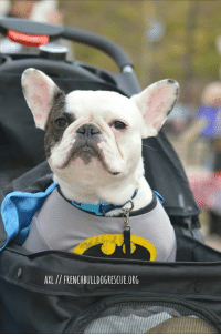 I'm not saying I'm Batdog, I'm just saying no one has ever seen me and Batdog in the same room together - Axl  Axl is available for adoption! Read all about this super frenchie on our website <location, likes, dislikes> and apply to adopt him today: http://frenchbulldogrescue.org/adoption-info/available-dogs2/  Remember, we do accept out-of-state/province applications, and we adopt to residents of the US and Canada. Read more about our adoption process on our website. :): AXL FRENCHBULLDOGRESCUE.ORG I'm not saying I'm Batdog, I'm just saying no one has ever seen me and Batdog in the same room together - Axl  Axl is available for adoption! Read all about this super frenchie on our website <location, likes, dislikes> and apply to adopt him today: http://frenchbulldogrescue.org/adoption-info/available-dogs2/  Remember, we do accept out-of-state/province applications, and we adopt to residents of the US and Canada. Read more about our adoption process on our website. :)