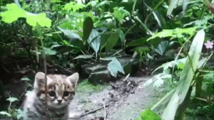 "ayellowbirds:  bead-bead:  geekwithsandwich:  kakaphoe:  willowwish64:  babyanimalgifs: The Black Footed cat is the smallest wild cat in Africa and one of the smallest wild cats in the world.  Here's an adult kitty for size comparison:   too smoll  OK but you can't mention my all-time favorite cat without also mentioning that these little motherfuckers are legendary for being 1000% ready to throw down with anyone at any time, they've literally been seen trying to fight a giraffe and are known to successfully bring down sheep by getting underneath them and ripping their bellies open like what the fuck, chill Their name in Afrikaans means ""anthill tiger"" because they'll hide inside a hollowed out anthill and then jump out and try to rip your face off They are perfect and I love them  Aw, look at these little murder muffins.   smallest and deadliest wild cat. Observed at a 60% success rate in hunting, and averaging a kill every fifty minutes—a lion might succeed in hunting twenty, twenty-five percent of the time. Their small, energetic bodies require a rate of a-murder-per-hour in order to sustain their metabolisms.(""miershoop"" can also mean ""termite mound"", which is one of their preferred places to sleep)   Smol handsome murderbaby : ayellowbirds:  bead-bead:  geekwithsandwich:  kakaphoe:  willowwish64:  babyanimalgifs: The Black Footed cat is the smallest wild cat in Africa and one of the smallest wild cats in the world.  Here's an adult kitty for size comparison:   too smoll  OK but you can't mention my all-time favorite cat without also mentioning that these little motherfuckers are legendary for being 1000% ready to throw down with anyone at any time, they've literally been seen trying to fight a giraffe and are known to successfully bring down sheep by getting underneath them and ripping their bellies open like what the fuck, chill Their name in Afrikaans means ""anthill tiger"" because they'll hide inside a hollowed out anthill and then jump out and try to rip your face off They are perfect and I love them  Aw, look at these little murder muffins.   smallest and deadliest wild cat. Observed at a 60% success rate in hunting, and averaging a kill every fifty minutes—a lion might succeed in hunting twenty, twenty-five percent of the time. Their small, energetic bodies require a rate of a-murder-per-hour in order to sustain their metabolisms.(""miershoop"" can also mean ""termite mound"", which is one of their preferred places to sleep)   Smol handsome murderbaby"