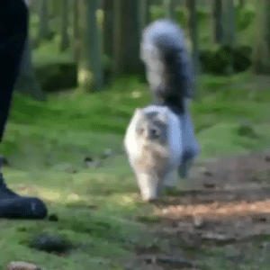 ayellowbirds: catchymemes: Norwegian forest cat. there's enough tail there to make a second kitty : ayellowbirds: catchymemes: Norwegian forest cat. there's enough tail there to make a second kitty
