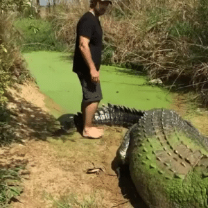 ayellowbirds: scruffsmcgoogle:  prettyboyshyflizzy: yall southern states got dinosaurs running around and yall make jokes about new york having rats  But they are places to be expected. NY rats take  the subway and be trying to sell their mixtapes and shit.  That's an Australian accent. That's a croc, not a gator—specifically, it's a big ol' saltie. The rats don't sell mixtapes, you're thinking of pigeons. The rats play acoustic guitar. : ayellowbirds: scruffsmcgoogle:  prettyboyshyflizzy: yall southern states got dinosaurs running around and yall make jokes about new york having rats  But they are places to be expected. NY rats take  the subway and be trying to sell their mixtapes and shit.  That's an Australian accent. That's a croc, not a gator—specifically, it's a big ol' saltie. The rats don't sell mixtapes, you're thinking of pigeons. The rats play acoustic guitar.