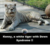 Tiger: AZr  Kenny, a white tiger with Down  Syndrome