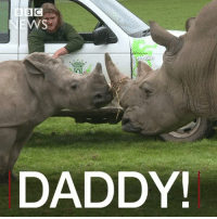 Memes, Safari, and Wild: B BIC  DADDY! 16 JAN: Watch this baby rhino meeting her dad for the first time at a UK nature reserve. The calf is only a year old, and was born as part of a special breeding programme at Knowsley Safari Park. In the wild, rhinos face uncontrolled poaching for huge profits. Watch more: bbc.in-nomvula Rhino WhiteRhino EndangeredSpecies Animals KnowsleySafariPark Conservation BBCShorts BBCNews @BBCNews