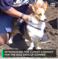 Corgi racing is a thing...and it's amazing.: B R  INTRODUCING THE CUTEST CONTEST  FOR THE DOG DAYS OF SUMMER Corgi racing is a thing...and it's amazing.