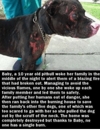 Memes, Pitbull, and Blaze: Baby, a 10 year old pitbull woke her family in the  middle of the night to alert them of a blazing fire  that had broken out. Managing to avoid the  vicious flames, one by one she woke up each  family member and led them to safety  After putting her humans out of danger, she  then ran back into the burning house to save  the family's other five dogs, one of which was  too scared to go with her so she pulled the dog  out by the scruff of the neck. The home was  completely destroyed but thanks to Baby, no  one has a single burn. Dogs are family, and Baby is and incredible hero