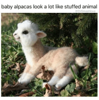THIS FANCY ASS LIL ALPACA WITH ITS LIL WHITE SOCKS AND BLACK EYE SHADOW GOT ME SHOOK. I KNOW LADIES LIKE THIS. TYPE OF LADY TO FLY TO LOS ANGELES FIRST CLASS FOR THE WEEKEND JUST TO SHOP AT MAXFIELD AND POP A FEW BANDS ON SAINT LAURENT LEATHER JACKETS AND DIOR SHOES. YOU FEEL ME? TYPE OF GIRL TO EAT AT SUGARFISH FOR LUNCH AND YAMAKASE FOR DINNER. TYPE OF GIRL TO HAVE A CAR WAITING FOR HER AND NOT NO UBER NEITHER LIKE SHE DON'T EEN RIDE IN CAMRIES BRUH SHE GET PICKED UP IN BLACK DENALIS BY A DUDE WEARING A TIE. U FEEL ME? TYPE OF GIRL WHOSE PUNANI TASTE LIKE CHAMPAGNE FOR NO GOOD REASON. FUCK AROUND WITH A GIRL LIKE THIS SHE MIGHT UPGRADE YOUR ENTIRE EXISTENCE AND THEN NEVER CALL U AGAIN BECAUSE ON A WHIM SHE DECIDED TO SPEND THE SUMMER IN A CHATEAU IN FRANCE. WATCH OUT FOR THIS GIRL BRUH SHE MIGHT EAT U ALIVE AND LOOK SEXY WHILE SHE DOING IT ... I MIGHT HAVE GOT MIXED UP WITH A COUPLE GIRLS LIKE THIS ... BUT THE GAME IS TO BE SOLD NOT TO BE TOLD BLESS UP 🤗😍😂😂😂: baby alpacas look a lot like stuffed animal  Dr Smashlove THIS FANCY ASS LIL ALPACA WITH ITS LIL WHITE SOCKS AND BLACK EYE SHADOW GOT ME SHOOK. I KNOW LADIES LIKE THIS. TYPE OF LADY TO FLY TO LOS ANGELES FIRST CLASS FOR THE WEEKEND JUST TO SHOP AT MAXFIELD AND POP A FEW BANDS ON SAINT LAURENT LEATHER JACKETS AND DIOR SHOES. YOU FEEL ME? TYPE OF GIRL TO EAT AT SUGARFISH FOR LUNCH AND YAMAKASE FOR DINNER. TYPE OF GIRL TO HAVE A CAR WAITING FOR HER AND NOT NO UBER NEITHER LIKE SHE DON'T EEN RIDE IN CAMRIES BRUH SHE GET PICKED UP IN BLACK DENALIS BY A DUDE WEARING A TIE. U FEEL ME? TYPE OF GIRL WHOSE PUNANI TASTE LIKE CHAMPAGNE FOR NO GOOD REASON. FUCK AROUND WITH A GIRL LIKE THIS SHE MIGHT UPGRADE YOUR ENTIRE EXISTENCE AND THEN NEVER CALL U AGAIN BECAUSE ON A WHIM SHE DECIDED TO SPEND THE SUMMER IN A CHATEAU IN FRANCE. WATCH OUT FOR THIS GIRL BRUH SHE MIGHT EAT U ALIVE AND LOOK SEXY WHILE SHE DOING IT ... I MIGHT HAVE GOT MIXED UP WITH A COUPLE GIRLS LIKE THIS ... BUT THE GAME IS TO BE SOLD NOT TO BE TOLD BLESS 