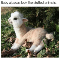 Baby, It's Cold Outside: Baby alpacas look like stuffed animals.