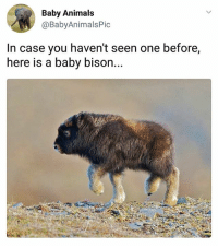 Animals, Memes, and Awesome: Baby Animals  @BabyAnimalsPic  In case you haven't seen one before,  here is a baby bison... I'll take 5 please. | Follow @HandpickedHighlights for awesome daily highlights👌