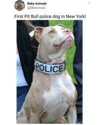 Look how proud she is 👏 | Follow @aranjevi for more!: Baby Animals  @BBAnimals  First Pit Bull police dog in New York!  POLICE Look how proud she is 👏 | Follow @aranjevi for more!