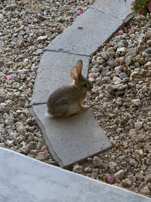 Flower, Baby, and Bunny: Baby bunny chewing on flower pedal in my backyard