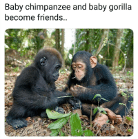 Friends, Memes, and Baby: Baby chimpanzee and baby gorilla  become friends.. @thegrilledchez is an absolute must follow!!