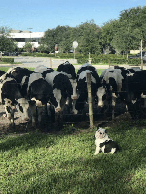 Baby cow reunites with his family: Baby cow reunites with his family