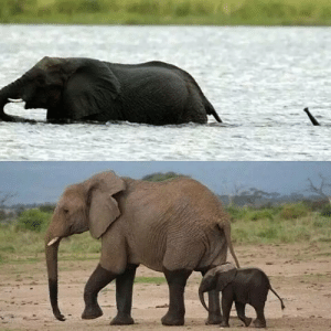 Baby elephant crossing a river: Baby elephant crossing a river