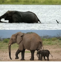 Dank, Elephant, and Baby: Baby Elephant crossing the river with his Mum.