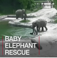 Animals, Memes, and Camera: BABY  ELEPHANT  RESCUE 21 JUN: The rescue of a drowning baby elephant by its mother and aunt has been caught on camera at South Korea's Seoul Grand Park. The baby, named Hope, loses its balance while testing the water with its trunk, but fortunately help is close at hand. For more: bbc.in-babyelephant BabyElephant Elephant BabyAnimals Animals Wildlife Seoul SeoulGrandPark SeoulGrandParkZoo Korea SouthKorea Asia BBCShorts BBCNews @BBCNews