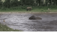 Baby elephant rushes to save his caretaker: Baby elephant rushes to save his caretaker