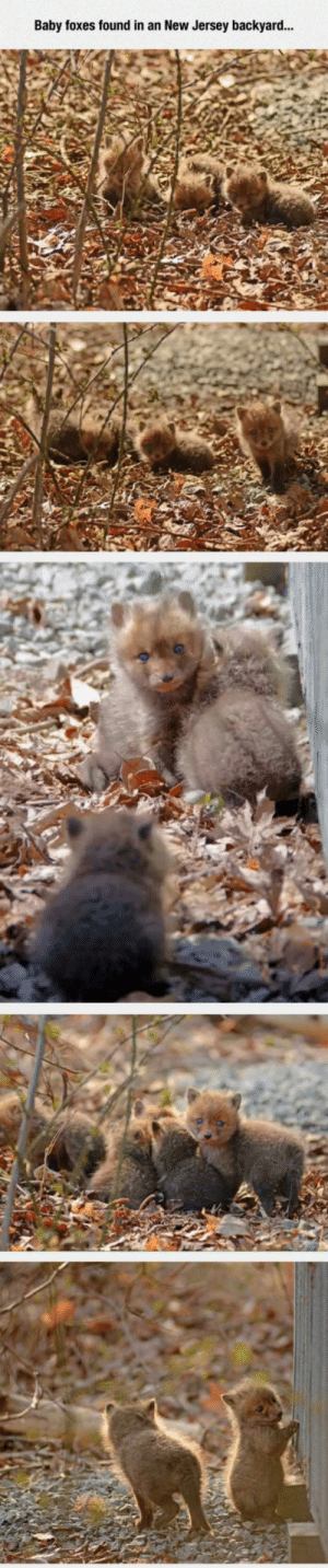 epicjohndoe:  Baby Foxes With Incredible Blue Eyes: Baby foxes found in an New Jersey backyard... epicjohndoe:  Baby Foxes With Incredible Blue Eyes