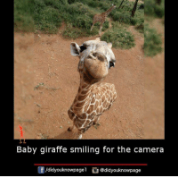Giraffity: Baby giraffe smiling for the camera  /didyouknowpagel  @didyouknowpage