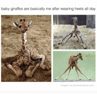 same: baby giraffes are basically me after wearing heels all day  @bu  images via southwickszoo.com same