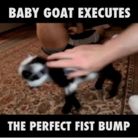 Memes, Goat, and 🤖: BABY GOAT EXECUTES  THE PERFECT FIST BUMP He may only be three weeks old, but he's already got the first bump perfected. Via: @Viralhog