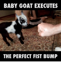 Baby, It's Cold Outside, Dank, and Goat: BABY GOAT EXECUTES  THE PERFECT FIST BUMP He may only be three weeks old, but he's already got the first bump perfected.   Provided by: ViralHog